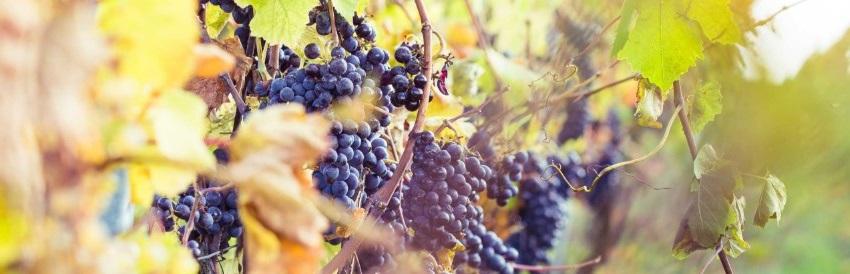 Sur la présence de sulfites dans le vin